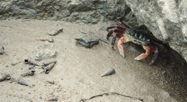 A shore crab and a few California horn snail shells at the coast end of the Coast to Crest trail.