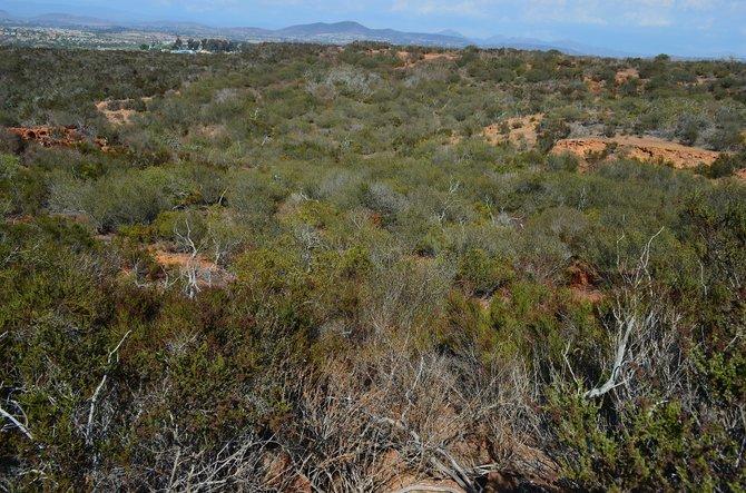 Carmel Mountain Preserve Area, Carmel Mountain, San Diego, California   Looking northeast toward Black Mountain over the chamise (Adenostoma fasciculatum).