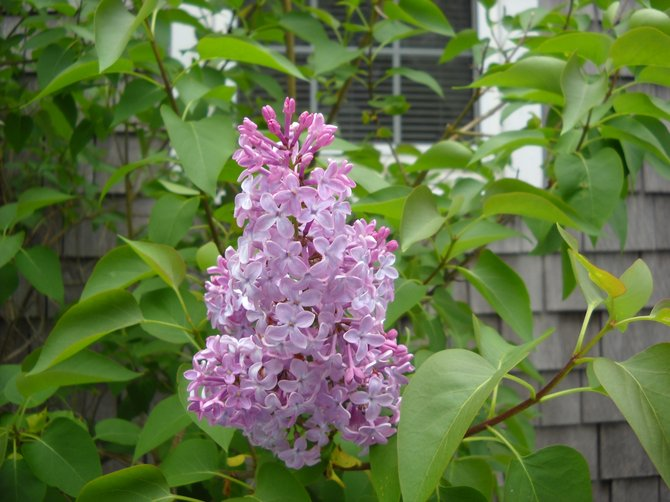 Beautiful Lilac flower blooming in Plymouth, MA.,near Cape Cod.