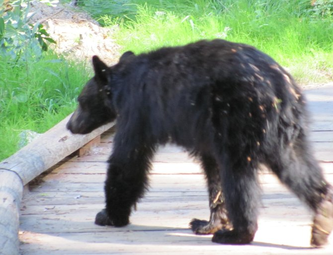 Black Bear in Sequoia National Park
