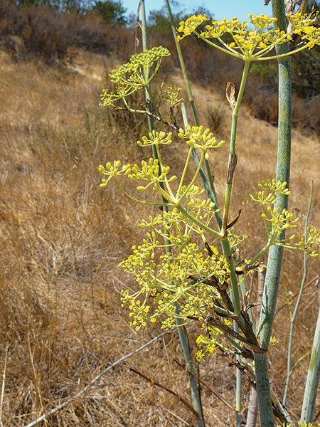 The willowy stems of sweet fennel and its characteristic licorice smell make it easy to identify.