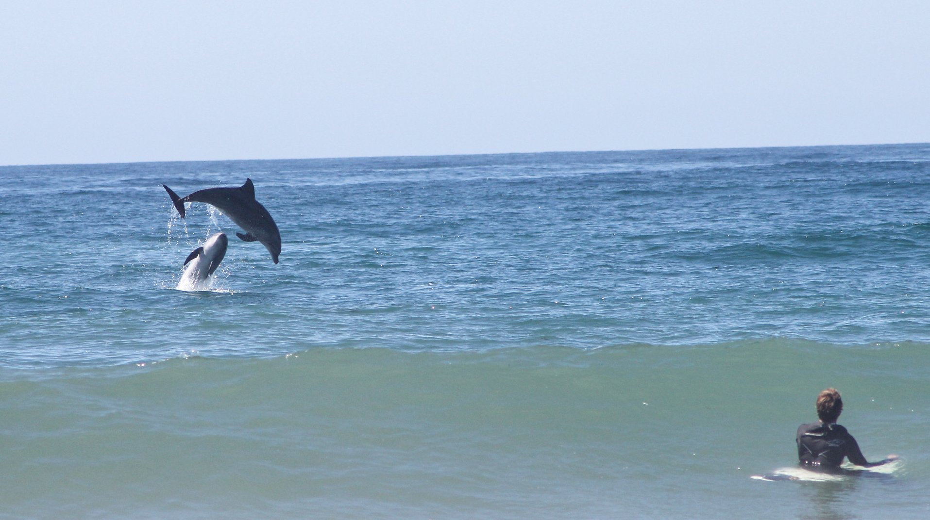 Dolphins play in Mission Beach