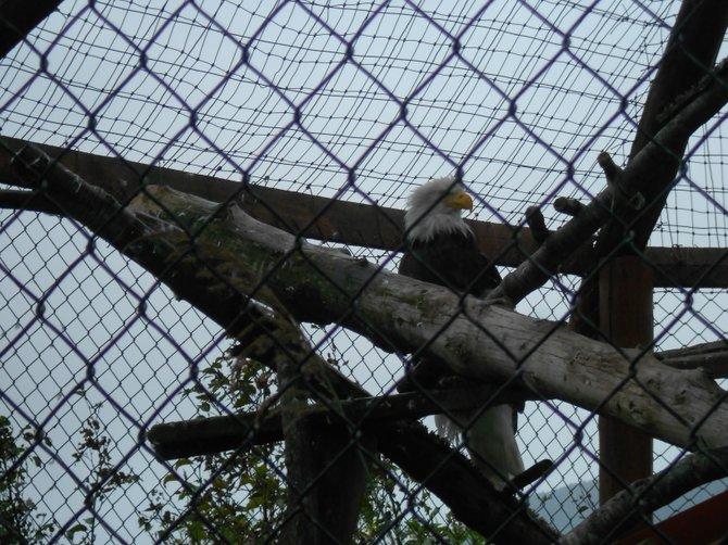 Injured Bald Eagle recovering at Anchorage, Alaska animal sanctuary.
