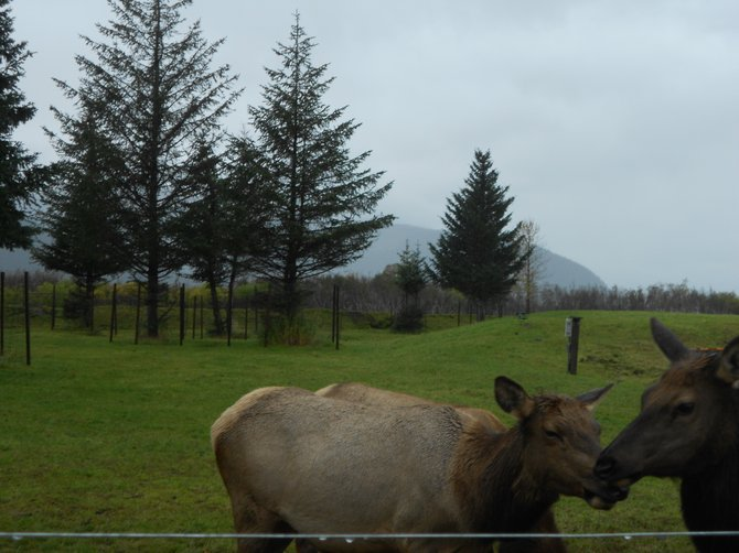 Affectionate animals cuddle in the drizzle at an Anchorage, Alaska animal sanctuary.