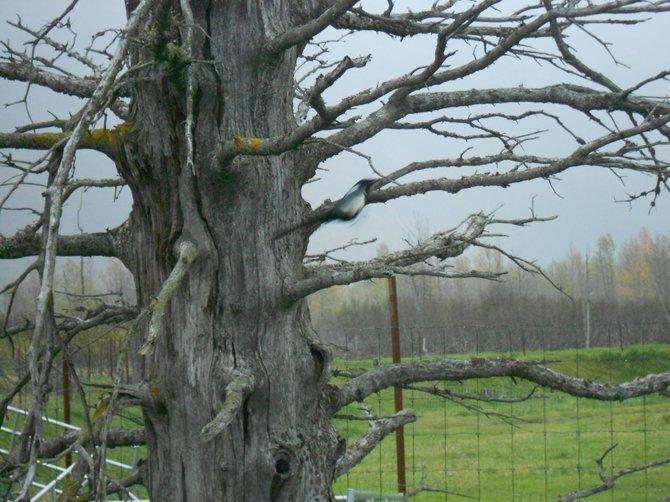 A dead-looking but arty tree near Anchorage, Alaska.