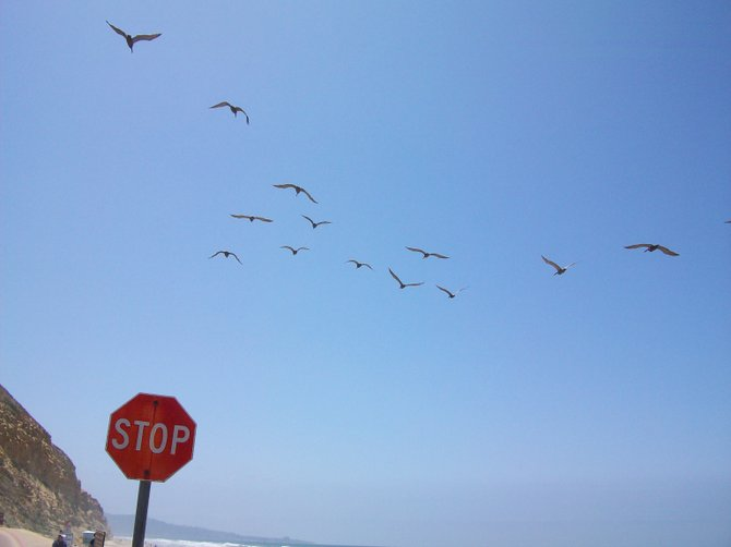 Stop sign with pelicans flying in a V-formation overhead in Del Mar.
