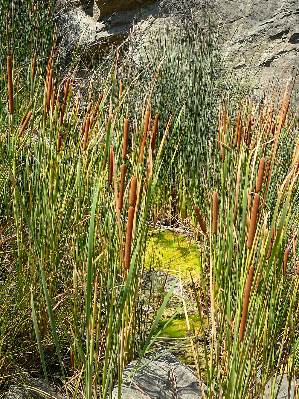 Willows, juncus, and pond moss are found along a small and almost stagnant stream.