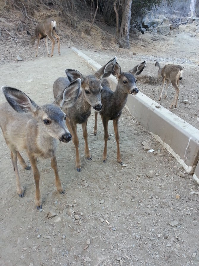 Baby deer on Catalina Island enjoying a feeding of some lettuce by kind-hearted animal lovers.