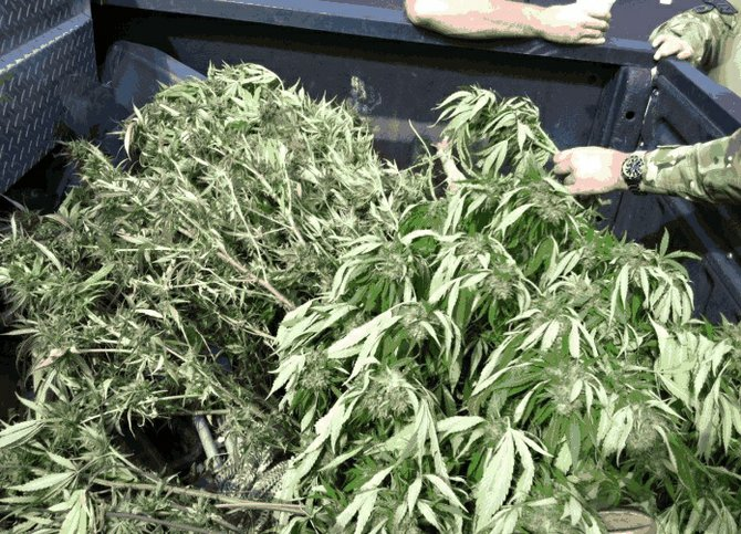 Confiscated plants. Photo: San Diego Sheriff