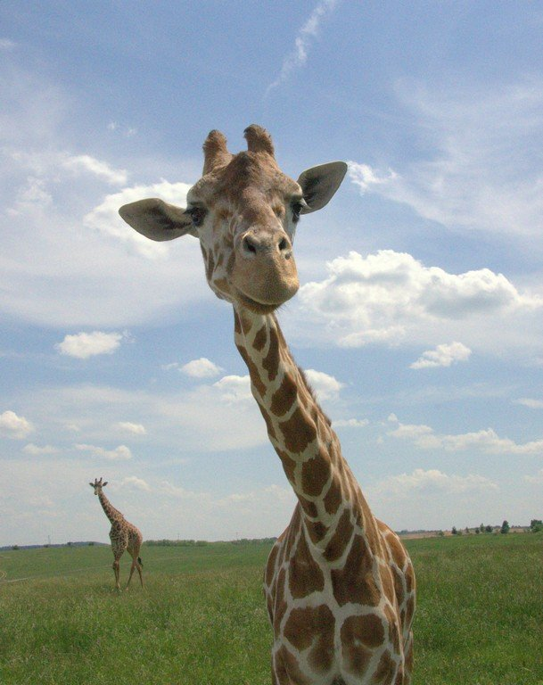 Up close with a giraffe in The Wilds.