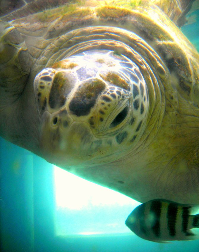The island - more than just a natural sanctuary, is also a rehabilitation center for injured sea turtle.