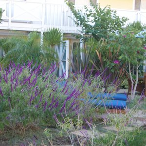 Lavender blooming in the Pavilion Hotel garden on Catalina Island.