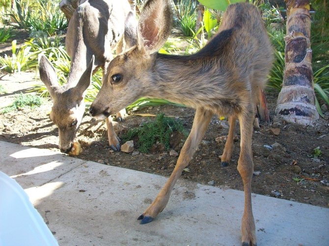 Baby deer enjoying treats at Descanso Beach Club on Catalina Island.
