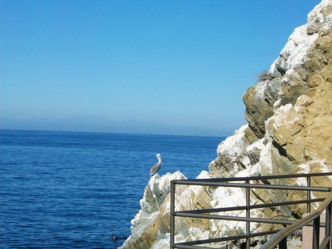 Cormorant bird enjoying the rocks off Catalina Island.