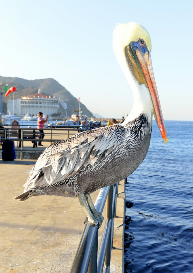Catalina Pelican Pose