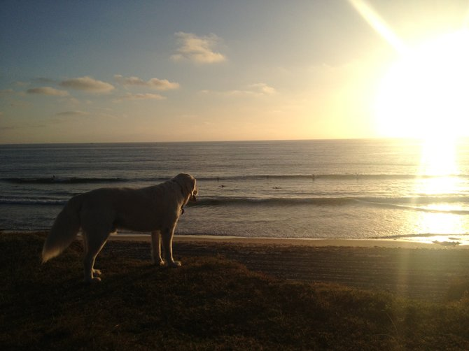 This adorable lab was running around a park in Pacific Beach when I caught this shot of it overlooking the ocean & sunset