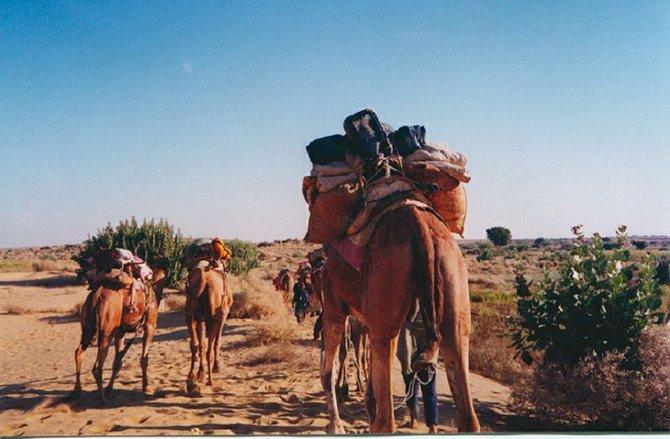 Camels resting in the Thar Desert