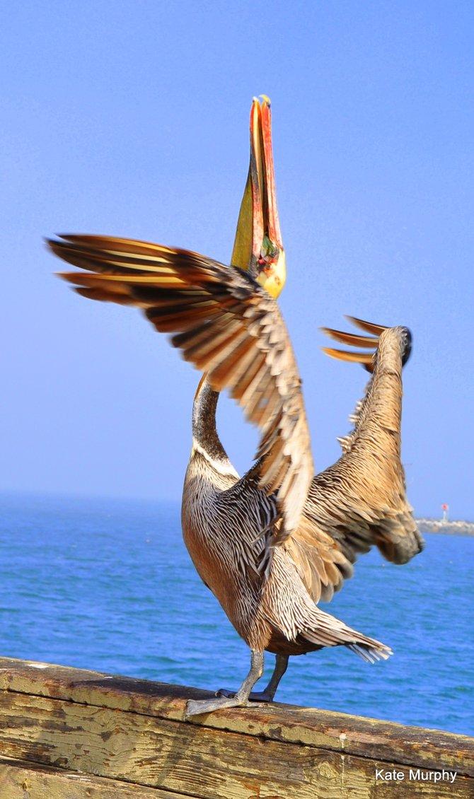 Pelican in Ocean Beach practicing yoga