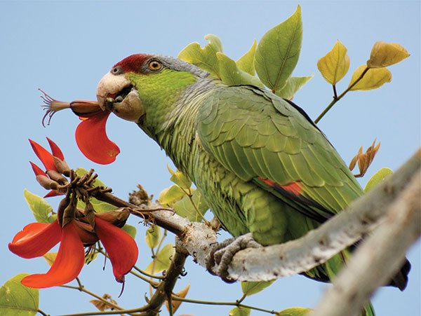 Lilac-crowned parrot, Marina Village, Mission Bay