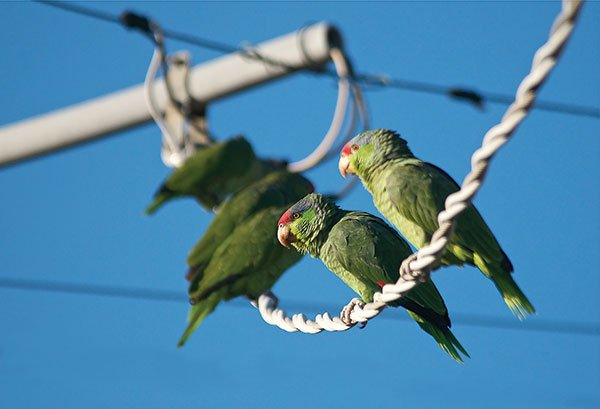 Urbanized red-crowned parrots in Lakeside.