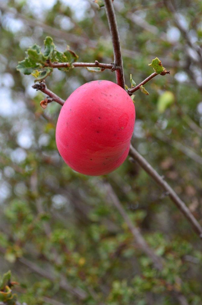 Florescent Scrub Oak Gall Apple.  Del Mar Mesa, Rancho Penasquitos, California, October 2013.  It's psychedelic, man!