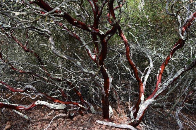 Del Mar Manzanita (Arctostaphylos glandulosa crassifolia), Del Mar Mesa, Rancho Penasquitos, California, October 2013
