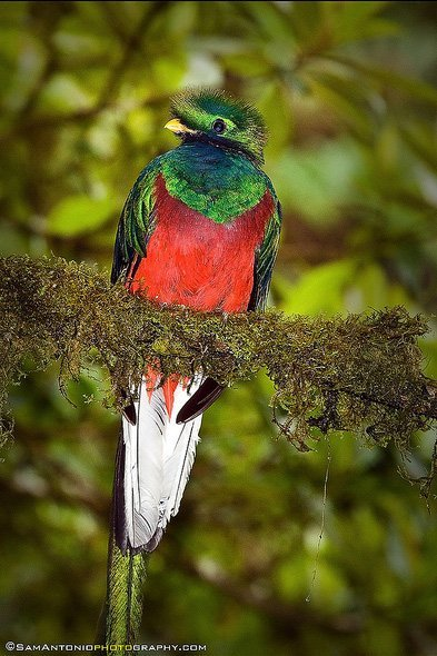 For the less adventurous visitor to Costa Rica, there's bird watching. The resplendent Quetzal bird.