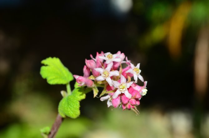 First bloom of the season!  Pink Chaparral Currant (Ribes malvaceum), Rancho Penasquitos, California, my backyard, late October 2013.