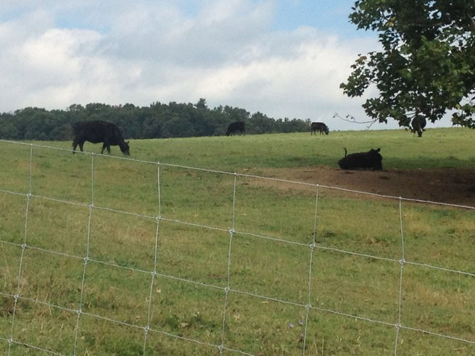 The neighboring cows live in a sterile world.