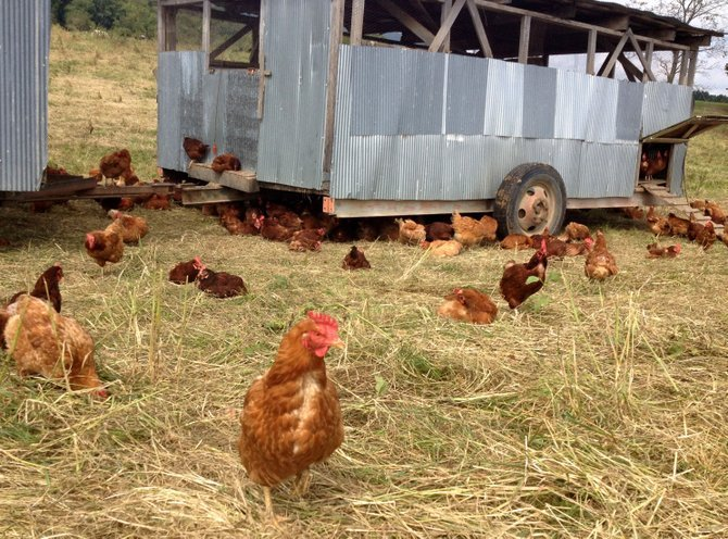 The chickens at Polyface Farm give new meaning to the term free-range.