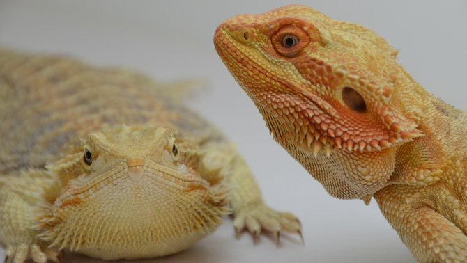 The exhibits look back, at the Reptile Super Show in downtown San Diego. Photo Weatherston.