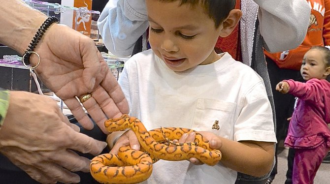 Joshua, 4, holds a rare corn snake with no scales. Photo Weatherston
