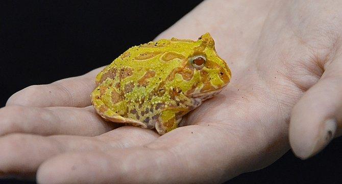 The frog-with-teeth took a break from biting, and rested in her palm. Photo Weatherston