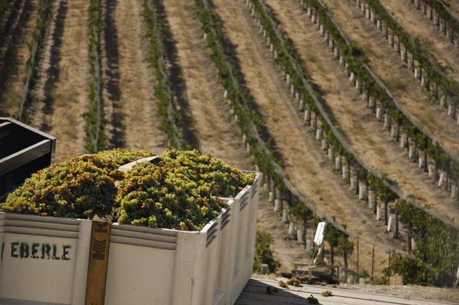 Harvest time for the white grapes at Eberle Winery in Paso Robles.