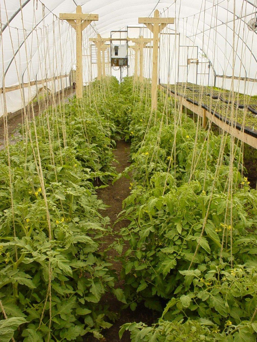 (Organic) tomatoes in a greenhouse at Maharishi Vedic City Organic Farm.