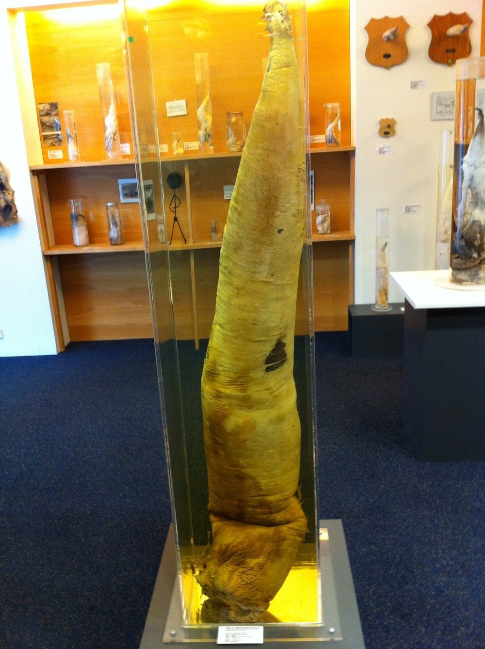 Whale penis on display at the Iceland Phallological Museum.