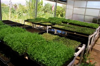 Sunflower greens, buckwheat, barley grass and pea shoots, Image provided by My Organic Place