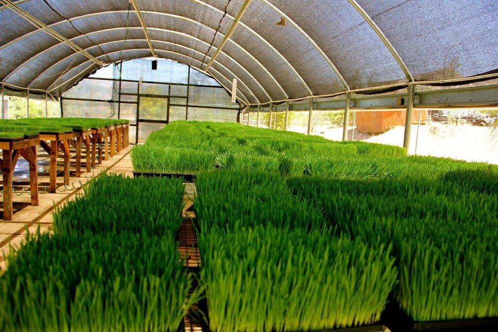Wheatgrass a'growin', Image provided by My Organic Place