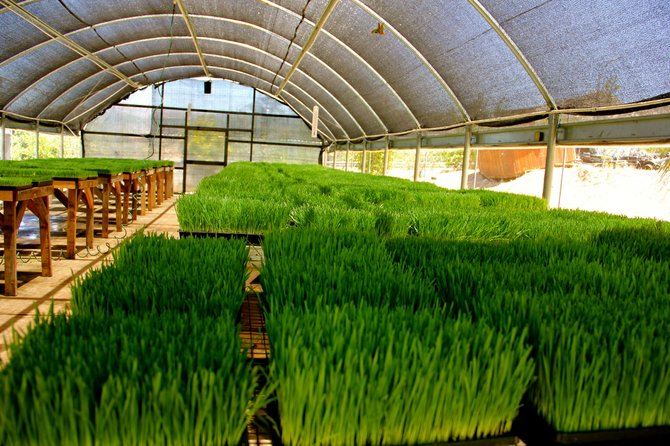 Wheatgrass a'growin', Image provided by My Organic Place