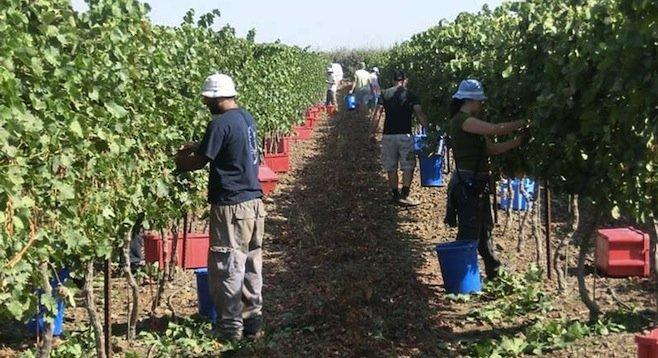 Harvest time at Assaf winery