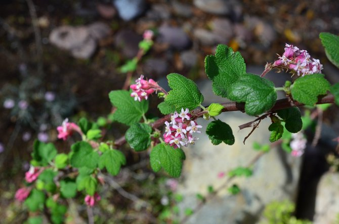 First bloom of the season:  Pink flowering currant (Ribes malvaceum), growing in my yard, Rancho Penasquitos, November 2013.