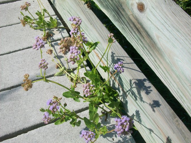 Flowers grow thru the wooden boardwalk planks along the Laguna Madre Nature Trail near South Padre Island, Texas.