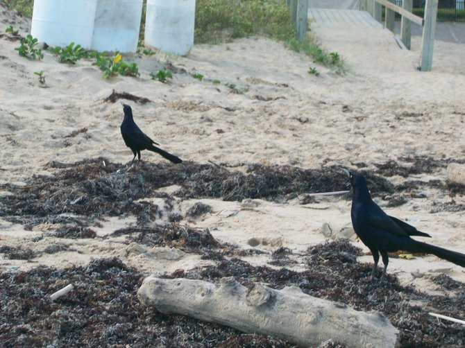 lack grackle birds look for food on a Gulf beach in South Padre Island, Texas.