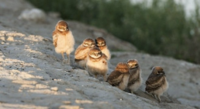 Burrowing owlets (photo by Kevin Cole)