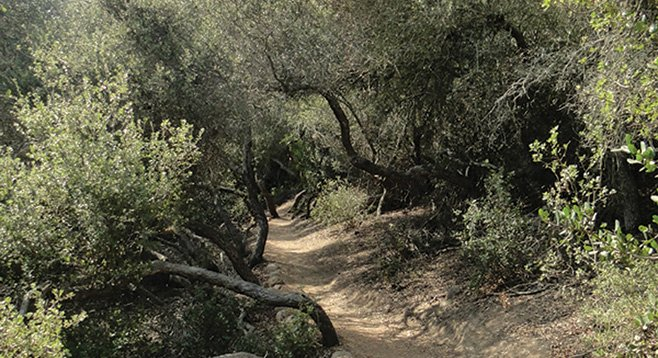 "Scrub oak ""tunnels"" on the Camino Ruiz Trail."