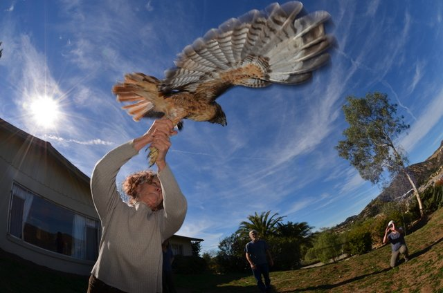 Avian researchers and volunteers release a redtail hawk captured in an Escondido backyard after applying a leg band for tracking and collecting feathers for genetic analysis.