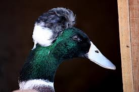 Duck toup.