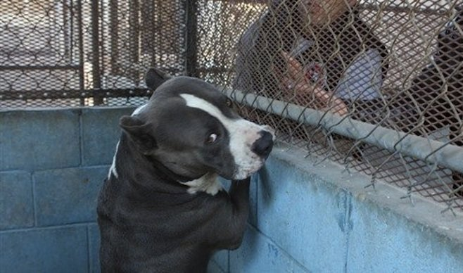 Pit bull that killed infant will be put to sleep this weekend. (Photo: El Mexicano)