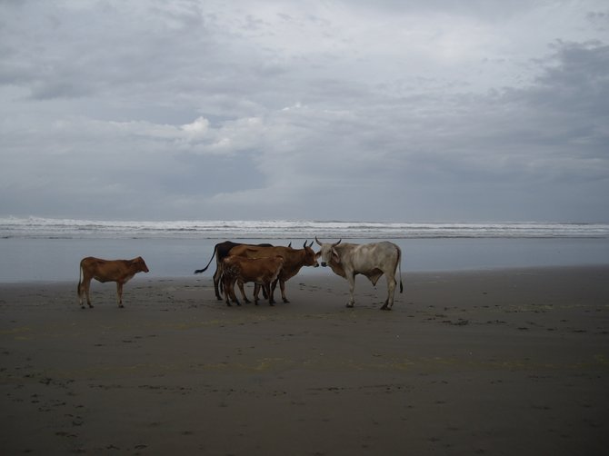 Cattle on the beach, Playa Espino.