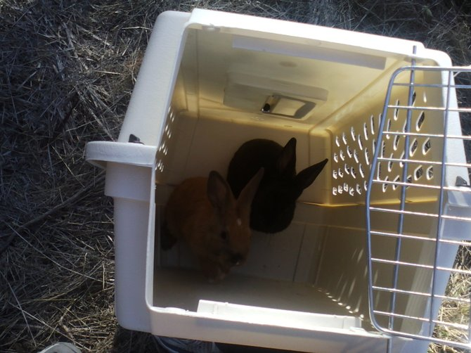 2 of the three rabbits in the pet cage